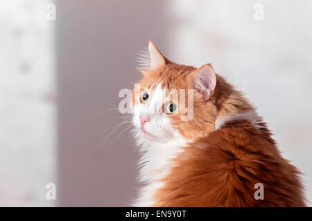 Schöne beleidigt erschrocken rote Katze auf weißem Hintergrund - Stockfoto