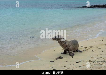 Galapagos sea lion pup (zalophus californianus wollebaeki) - Stockfoto