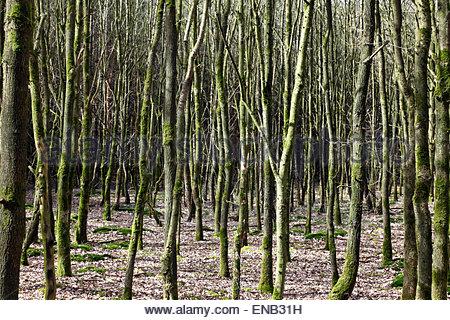 dicht gepflanzt Jungbäume im frühen Frühling Niederlande - Stockfoto