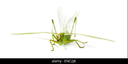 Weibliche Great Green Bush-Cricket, Ettigonia Viridissima vor einem weißen Hintergrund - Stockfoto