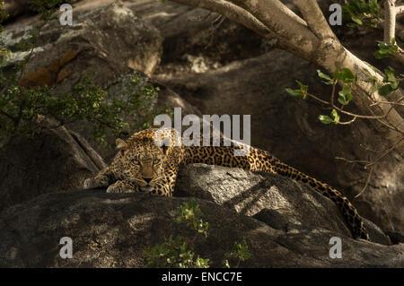 Leoparden ruht auf Felsen, Serengeti, Tansania, Afrika - Stockfoto