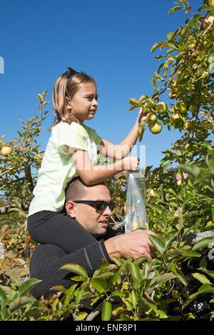 Mann mit kleinen Mädchen sitzen auf seinen Schultern pflücken Äpfel von einem Baum in einem amerikanischen Obstgarten - Stockfoto