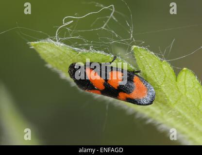 Rot und schwarz Blutzikade - Cercopis vulnerata - Stockfoto