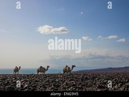 Kamel Herde auf Vulkangestein, Turkana-See, Loiyangalani, Kenia - Stockfoto