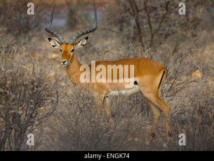 Männlichen Impala (Aepyceros Melampus), County in Samburu, Samburu National Reserve, Kenia - Stockfoto