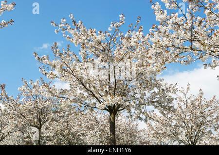 Prunus Serrulata Tai Haku. Große weiße Kirschbaum Obstgarten in Alnwick Gardens, Northumberland, England - Stockfoto