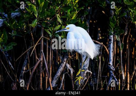 Snowy Reiher, Egretta unaufger - Stockfoto