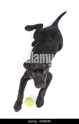 Süße schwarze Labrador Retriever Welpen mit Tennisball isoliert auf weißem Hintergrund ausschneiden - Stockfoto