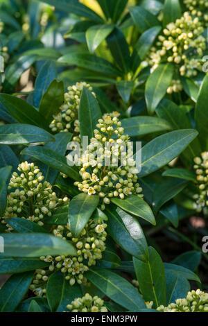 """Skimmia × Confusa """"Kew Green"""" (M) - Stockfoto"""