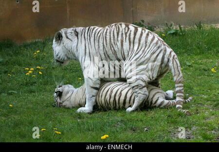 Munter männlichen und weiblichen weißen Bengal-Tiger (Panthera Tigris Tigris) bei Ouwehand Zoo Rhenen, Niederlande - Stockfoto