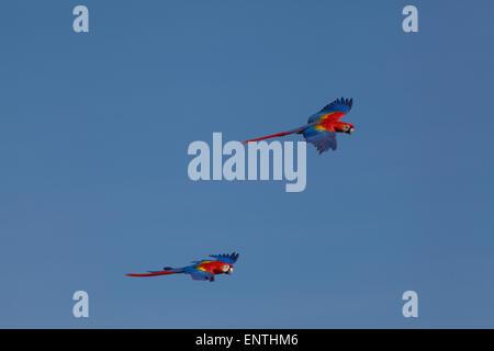 Rote Aras (Ara Macao). Paar auf der Flucht. - Stockfoto