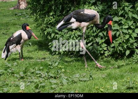 Männliche und weibliche westafrikanischen Sattel – abgerechnet Stork (Nahrung Senegalensis) - Stockfoto