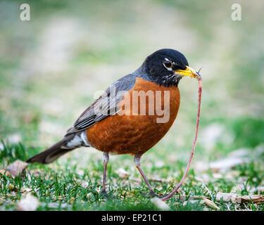 Robin mit einem Wurm im Maul - Stockfoto