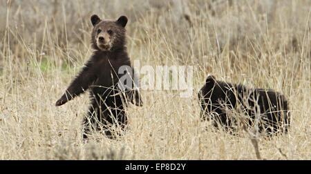 Grizzly Bear Cubs im Frühjahr in der Nähe von Fischerei-Brücke im Yellowstone-Nationalpark, Wyoming. - Stockfoto
