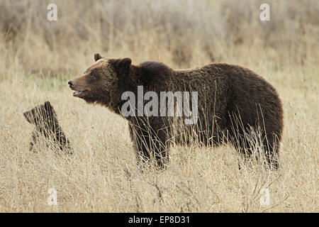 Eine Grizzlybär Sau geht mit ihren jungen im Frühjahr in der Nähe von Fischerei-Brücke im Yellowstone-Nationalpark, - Stockfoto