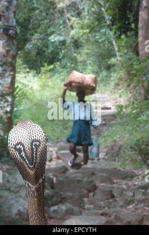 Erwachsenen Kobra, Naja Naja, erwartet Opfer, Tamil Nadu, Südindien - Stockfoto