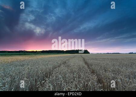 Sonnenuntergang über Weizenfeld im Sommer - Stockfoto
