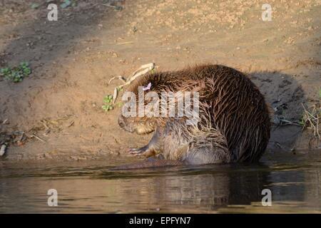 Eurasische Biber (Castor Fiber) am Ufer der Fischotter im Abendlicht auf Krankheiten überprüft und neu aufgelegt. - Stockfoto