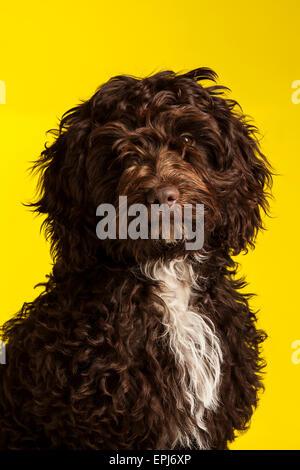Cockerpoo Kreuz gezüchtete Hund (Spaniel Kreuz Pudel) - Stockfoto