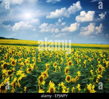 Großes Feld von Sonnenblumen. Zusammensetzung der Natur. - Stockfoto