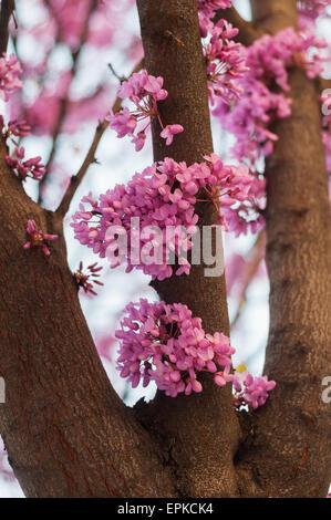 Rosa Blumen wachsen auf Baum Stockfoto, Bild: 48827408 - Alamy