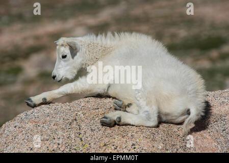 Bergziege (Oreamnos Americanus), Kid ruhen, Rocky Mountains, Colorado USA - Stockfoto