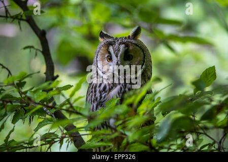 Waldohreule (Asio Otus / Strix Otus) im Baum im Wald gelegen - Stockfoto