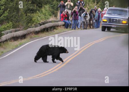 Ein schwarzer Bär (Ursus Americanus) kreuzt eine Straße im Yellowstone-Nationalpark, Wyoming - Stockfoto