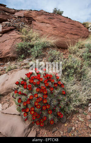 Claretcup Kaktus (Echinocereus Triglochidiatus) Canyon Felgen Recreational Area, Utah USA - Stockfoto