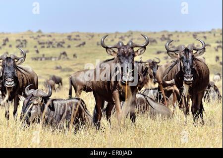 Gnus in der Masai Mara während der migration - Stockfoto