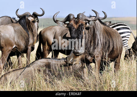 Gnus in der Masai Mara - Stockfoto