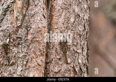 Eine gemeinsame oder eurasischen Tree Creeper Certhia Familiaris, mit einem Schnabel voller Lebensmittel in der - Stockfoto