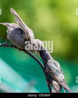 Brighton, UK. 26. Mai 2015. Neugeborene und extrem hungrig dieses Baby Starling fast schluckt seinen Eltern Kopf - Stockfoto