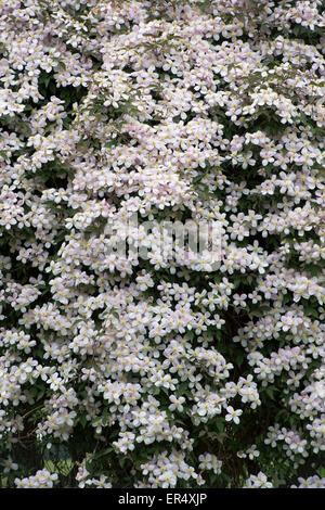 """Clematis Montana var Rubens """"Elizabeth"""". Clematis Montana Elizabeth Blumen in einem Garten - Stockfoto"""