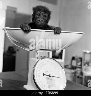 Salome, Baby Gorilla Tipps die Waage bei 8lbs 12ozs bei Routineuntersuchung im Londoner Zoo, 6. Oktober 1976. Salome - Stockfoto