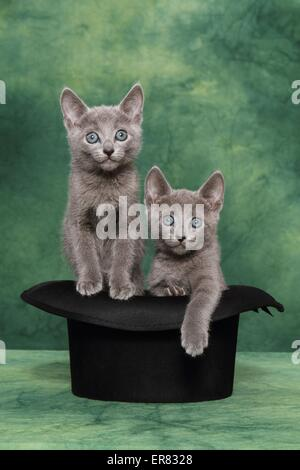 Russisch Blau Kätzchen - Stockfoto