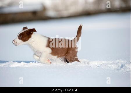 Rote und weiße Border-Collie Welpen p [Verlegung im Schnee. Yorkshire, Großbritannien - Stockfoto