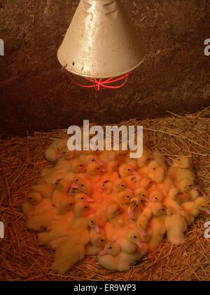 Huhn, Zucht - Stockfoto