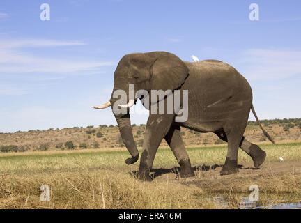 Afrikanischer Elefant - Stockfoto