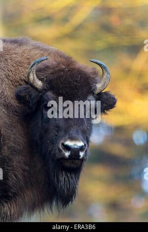 Amerikanischer bison - Stockfoto