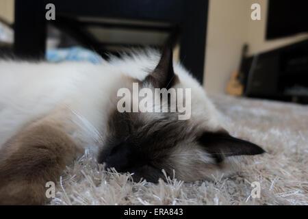 Ragdoll Katze schläft auf einem Teppich - Stockfoto