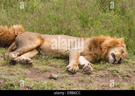 Löwe (Panthera Leo) zwei Männer schlafen auf Boden, Kenia, Afrika - Stockfoto