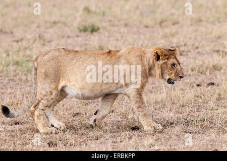 Löwe (Panthera Leo) einzelne große Cub, zu Fuß auf den Boden, Masai Mara, Kenia, Afrika - Stockfoto
