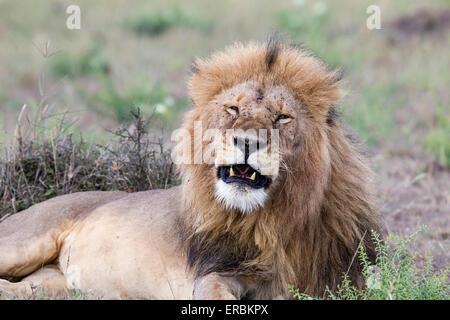 Löwe (Panthera Leo) Männchen stolz, ruht auf Boden, Masai Mara, Kenia, Afrika - Stockfoto