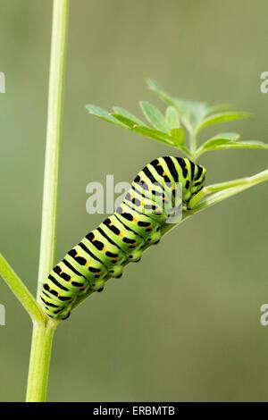 Schwalbenschwanz (Papilio Machaon) Schmetterling Raupe (Larve) ernähren sich von Milch Petersilie, Norfolk Broads, - Stockfoto