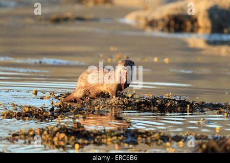 gemeinsamen otter - Stockfoto