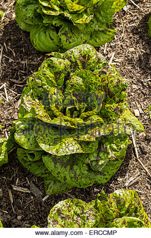 Salat - Sorte ist 'Sommersprossen' - Stockfoto