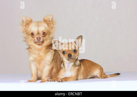 2 chihuahuas - Stockfoto
