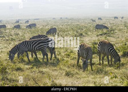 Herde von Ebenen zebras - Stockfoto