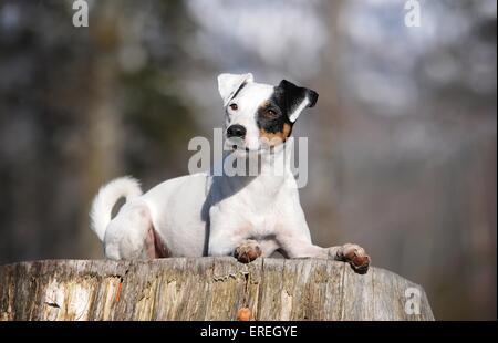Jack Russell Terrier liegend - Stockfoto